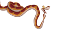 Rainforest king snake