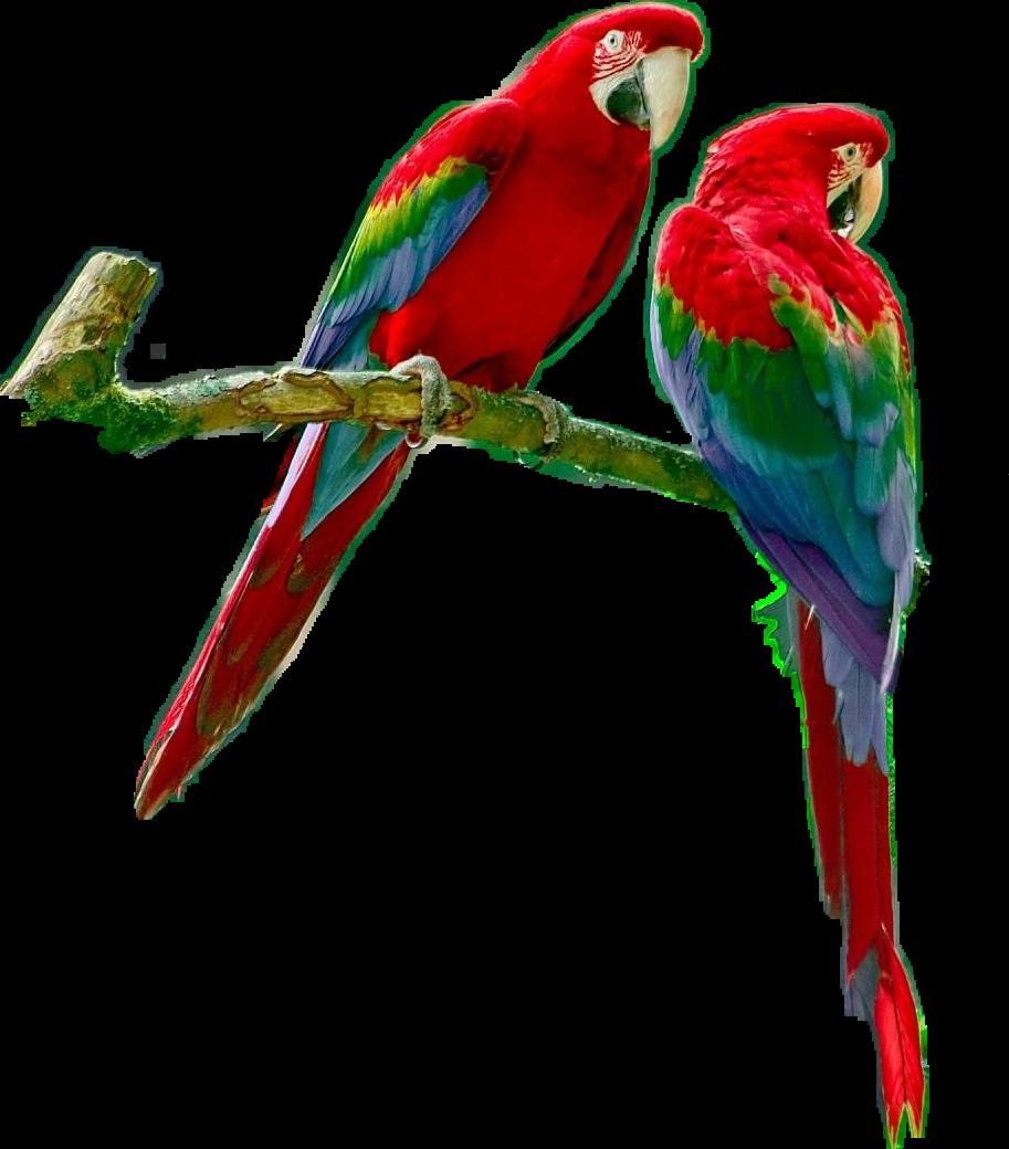 Parrots parrotsrule parrotlover parrot. Rainforest clipart macaw