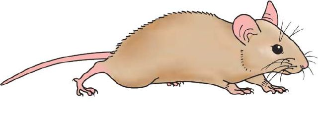 Rat clipart. For kids clip art