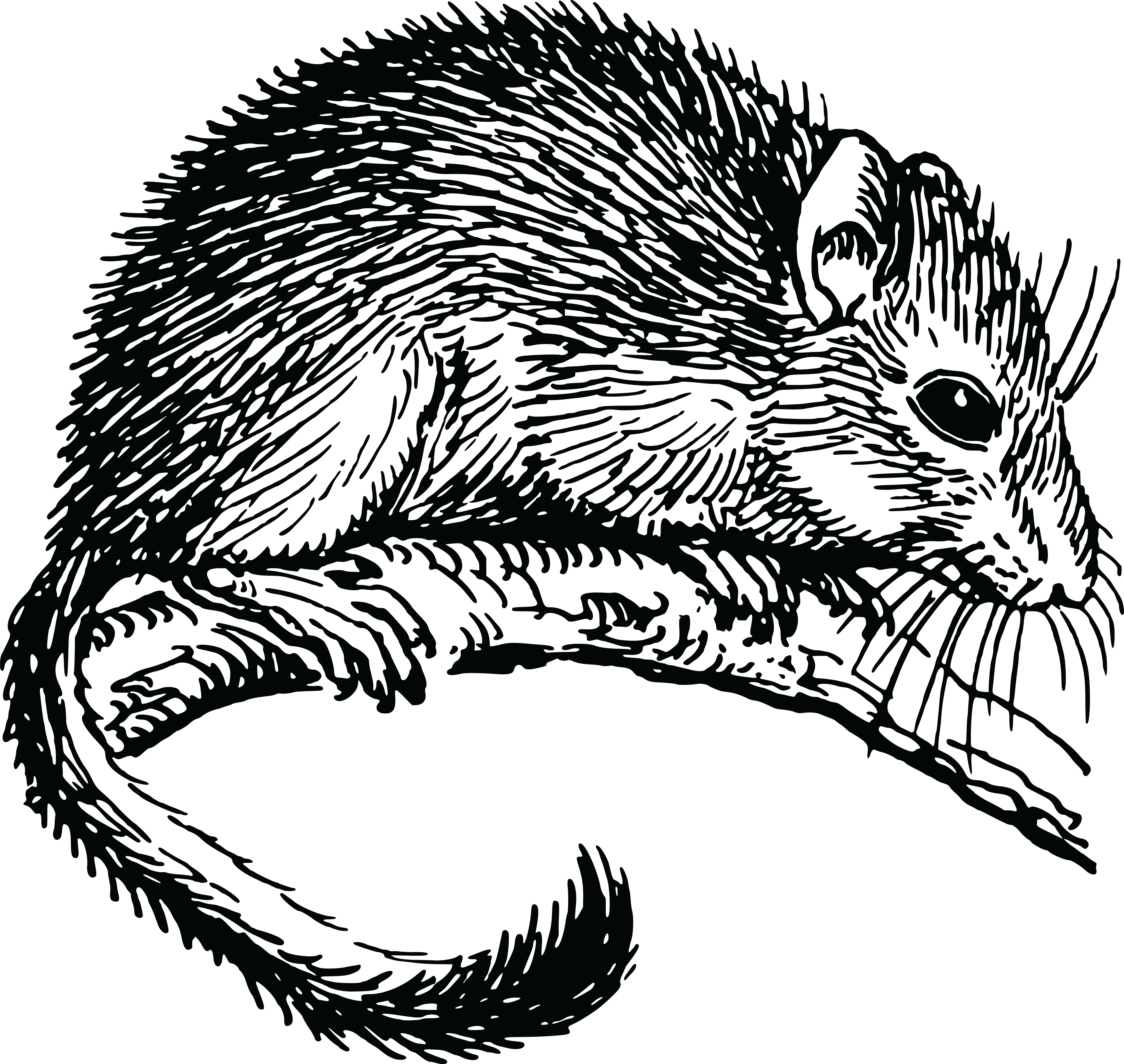 Rat clipart vole. Collection of free dormice