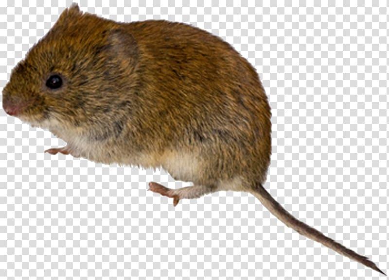 Rodent mouse meadow transparent. Rat clipart vole