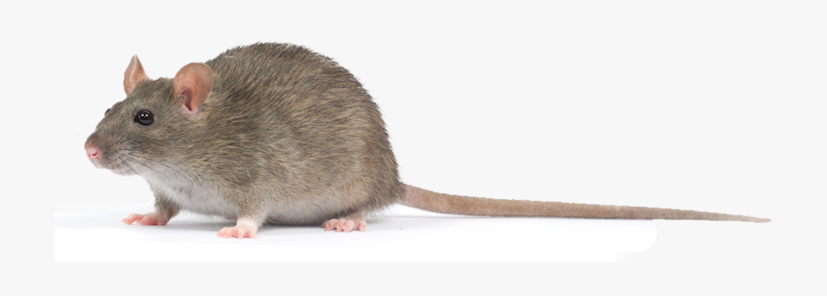 Pine marsh rice free. Rat clipart vole
