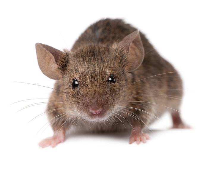 Home stevens point carpenter. Rat clipart vole