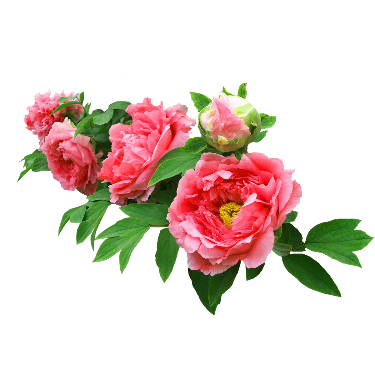 Real flower png. Moutan peony garden roses