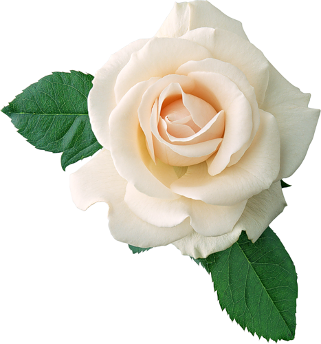 Real flower png. White rose clipart gallery