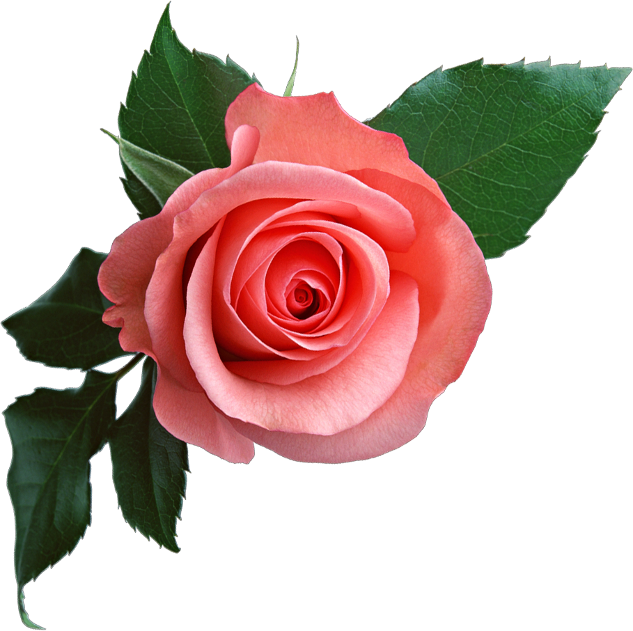 Rose images free download. Real flower png