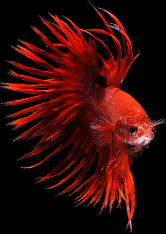 Red clipart betta fish, Red betta fish Transparent FREE ... (559 x 787 Pixel)