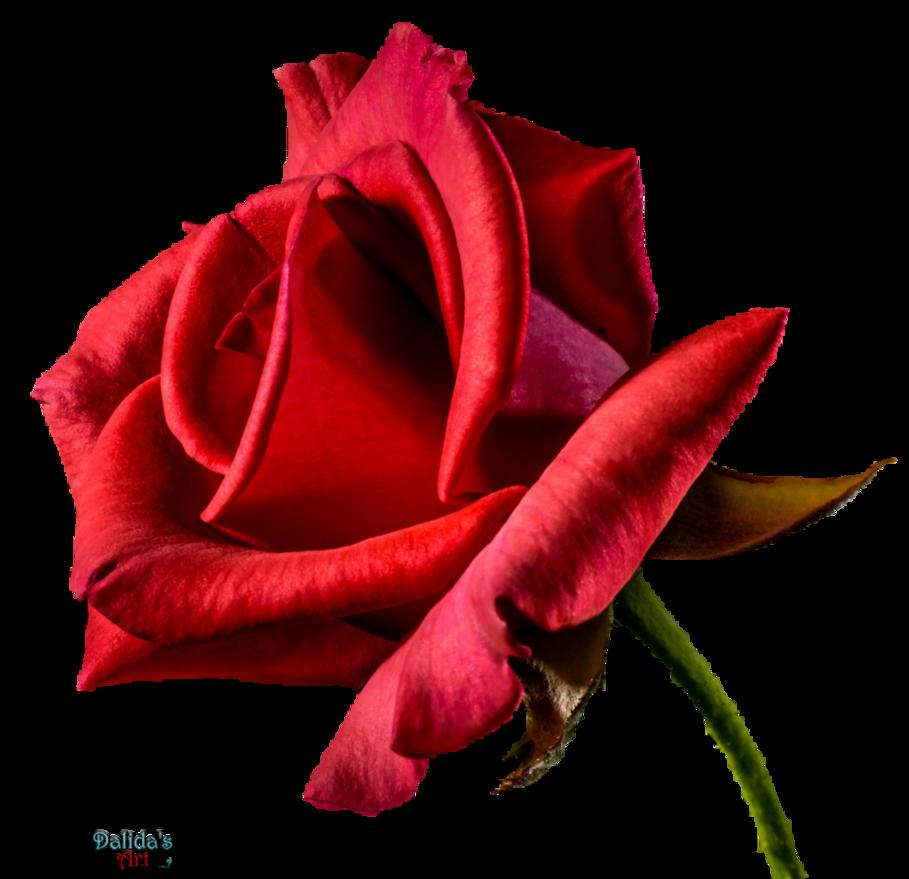 Red flower png. Rose by makiskan on