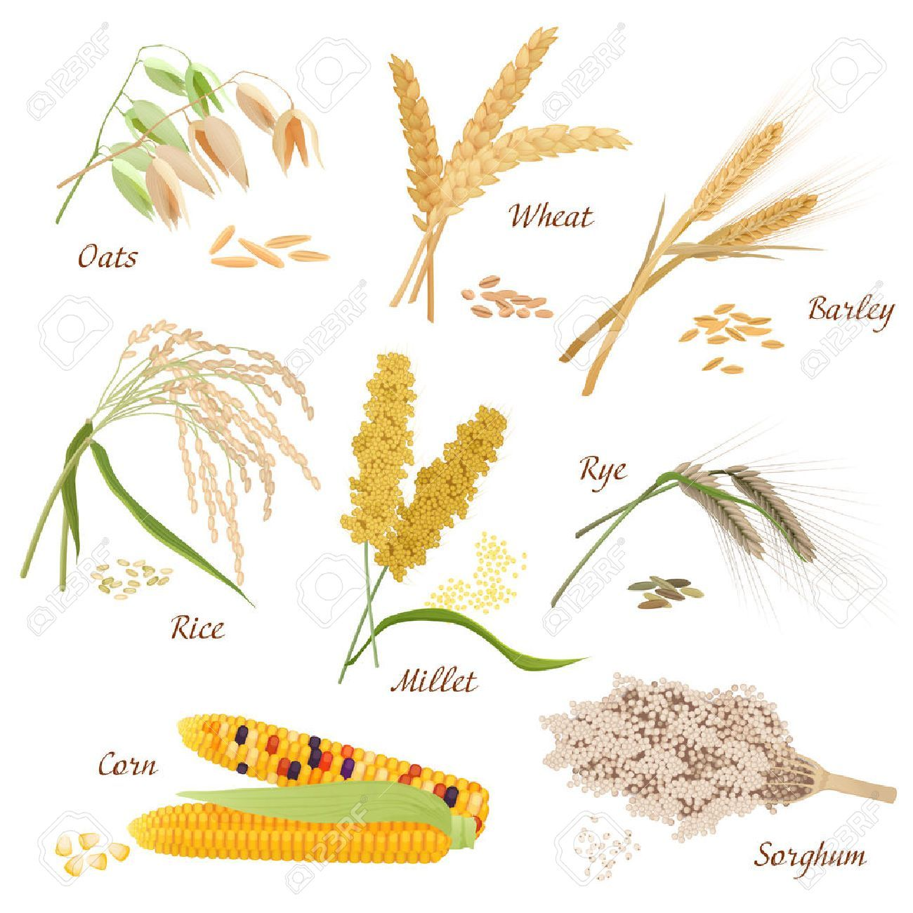 Wheat clipart millet plant. Stock vector sketches in