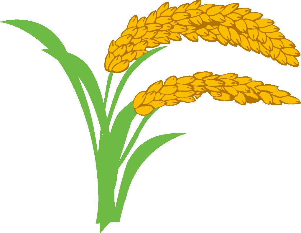 Wheat clipart paddy. Rice oryza sativa clip