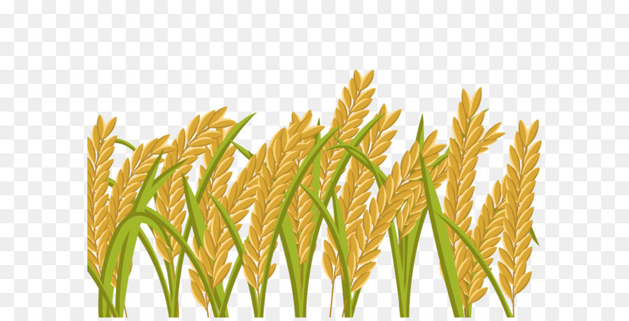 Paddy crop png free. Rice clipart rice harvest