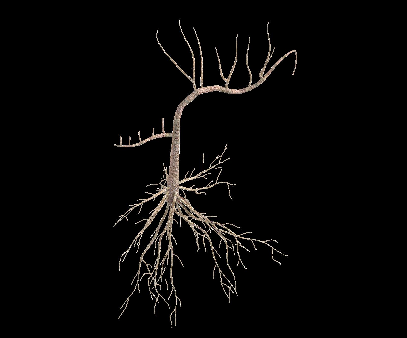 Roots Clipart Kapok Tree Roots Kapok Tree Transparent Free For