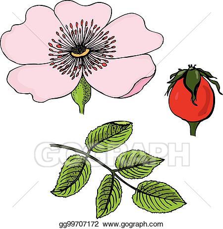 Vector rosa canina flowers. Rose clipart dog