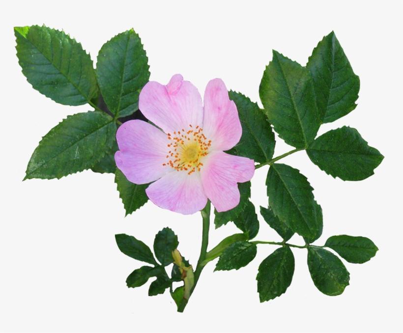Rose clipart dog. Flower free transparent png