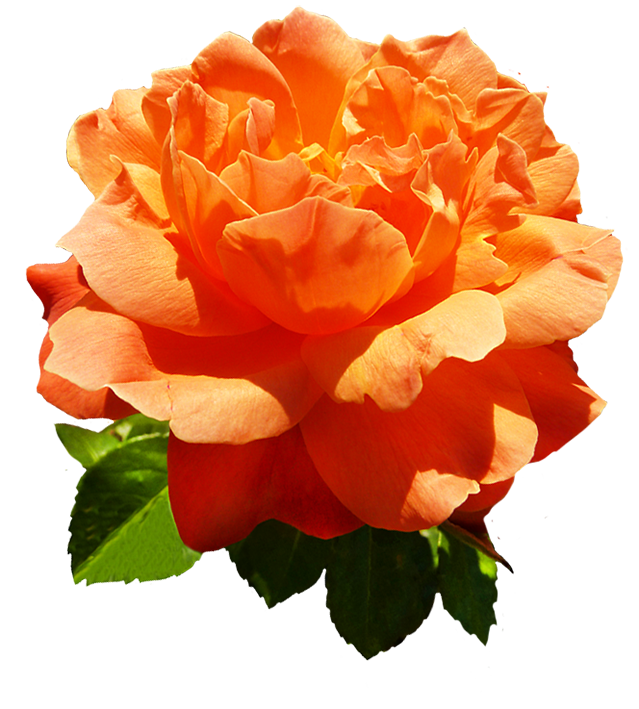 Rose clipart head of. Orange flower png