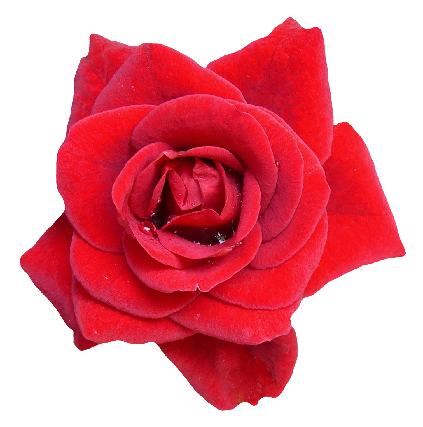 Red flower png image. Rose clipart high resolution
