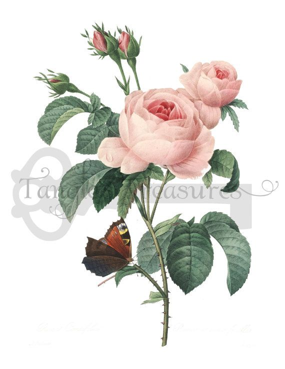 French pink with butterflies. Rose clipart high resolution