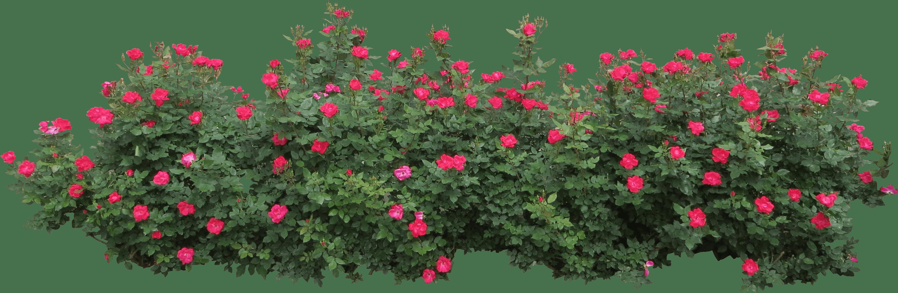 Rose clipart shrub. Bush png free images