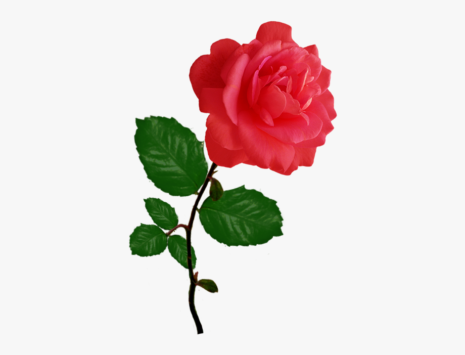 Red pink png transparent. Rose clipart single