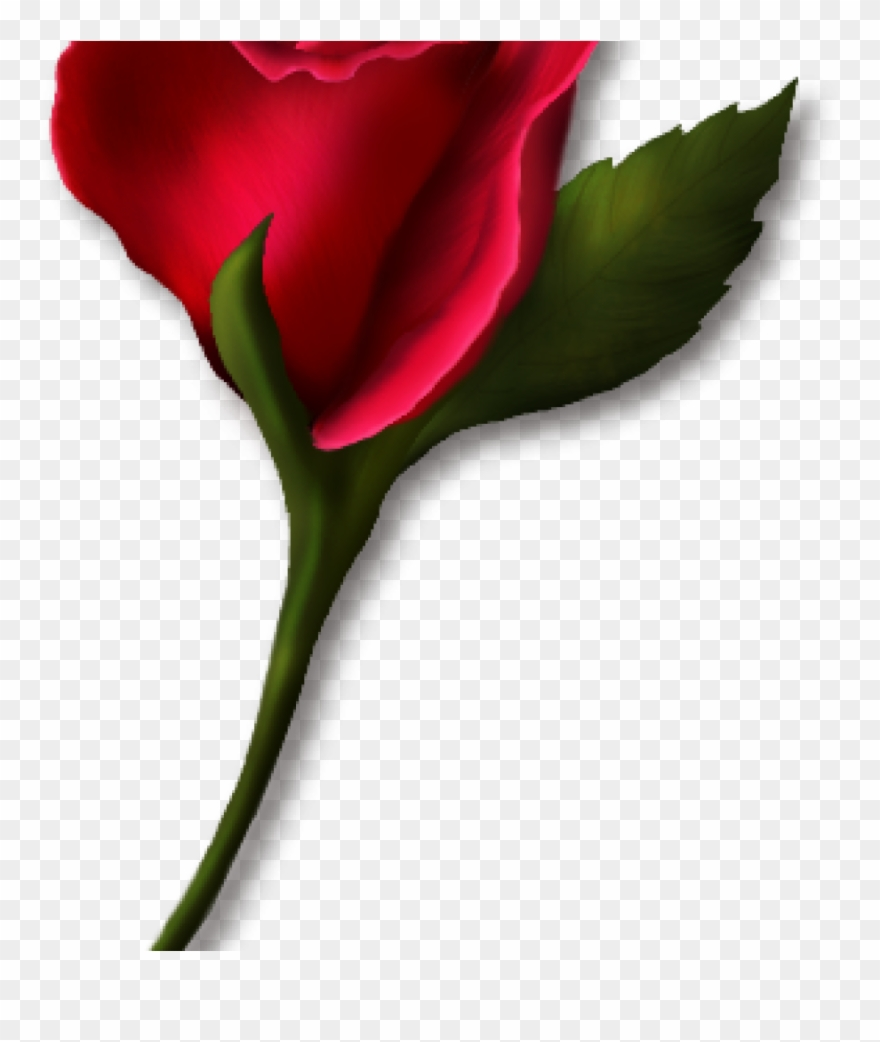Png real . Rose clipart single