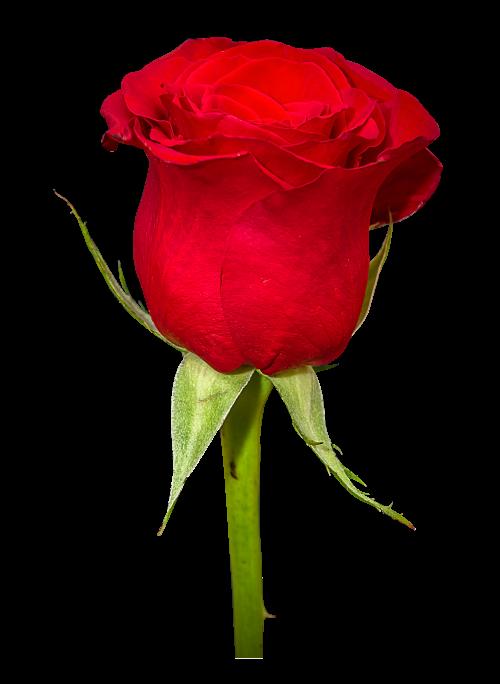 Rose flower png. Image pngpix download