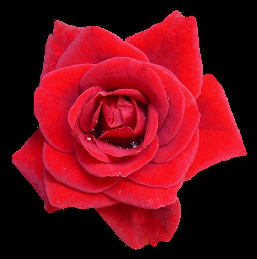 Rose flower png. Red image pngpix