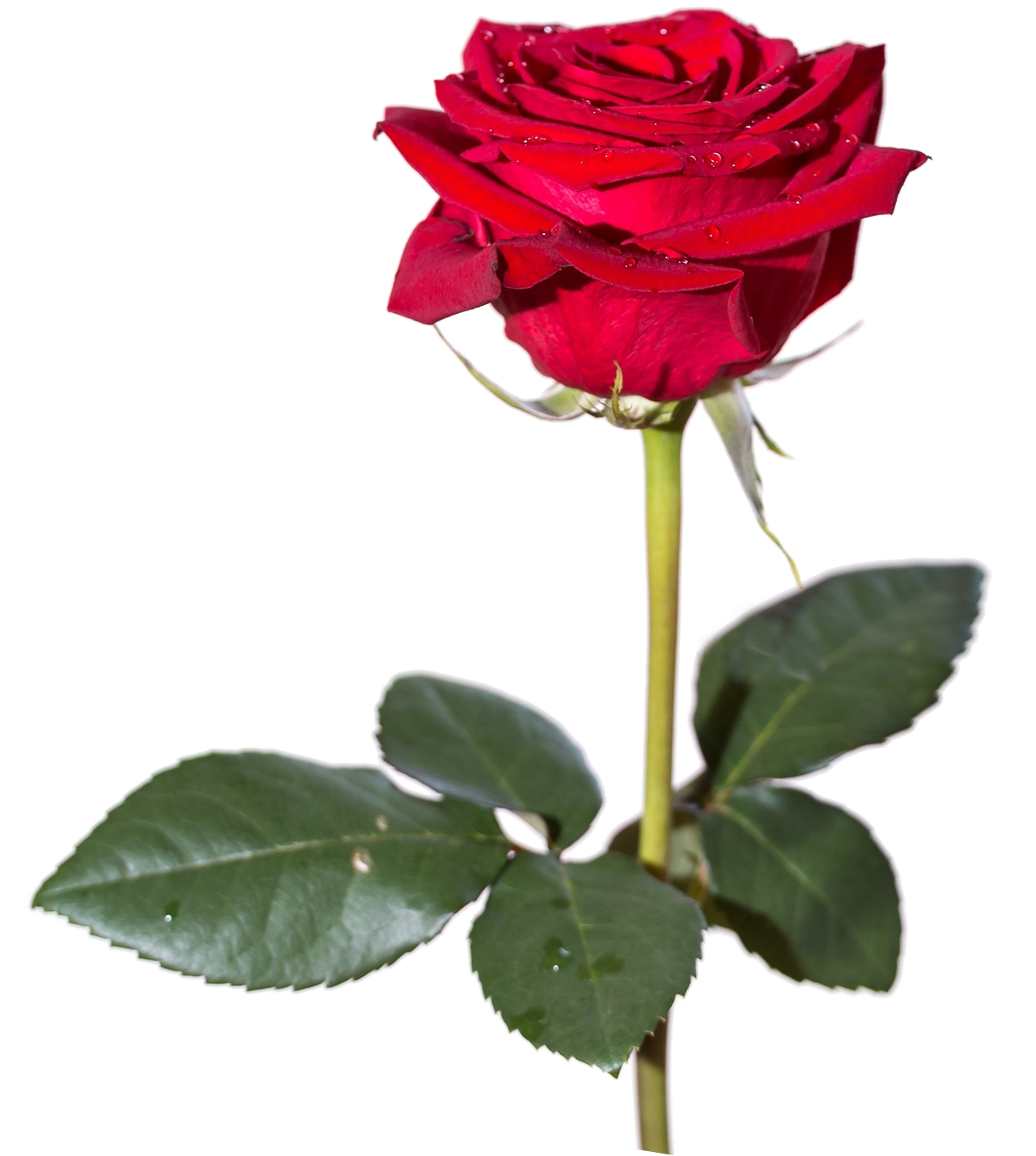 Rose png images. Hd transparent pluspng red