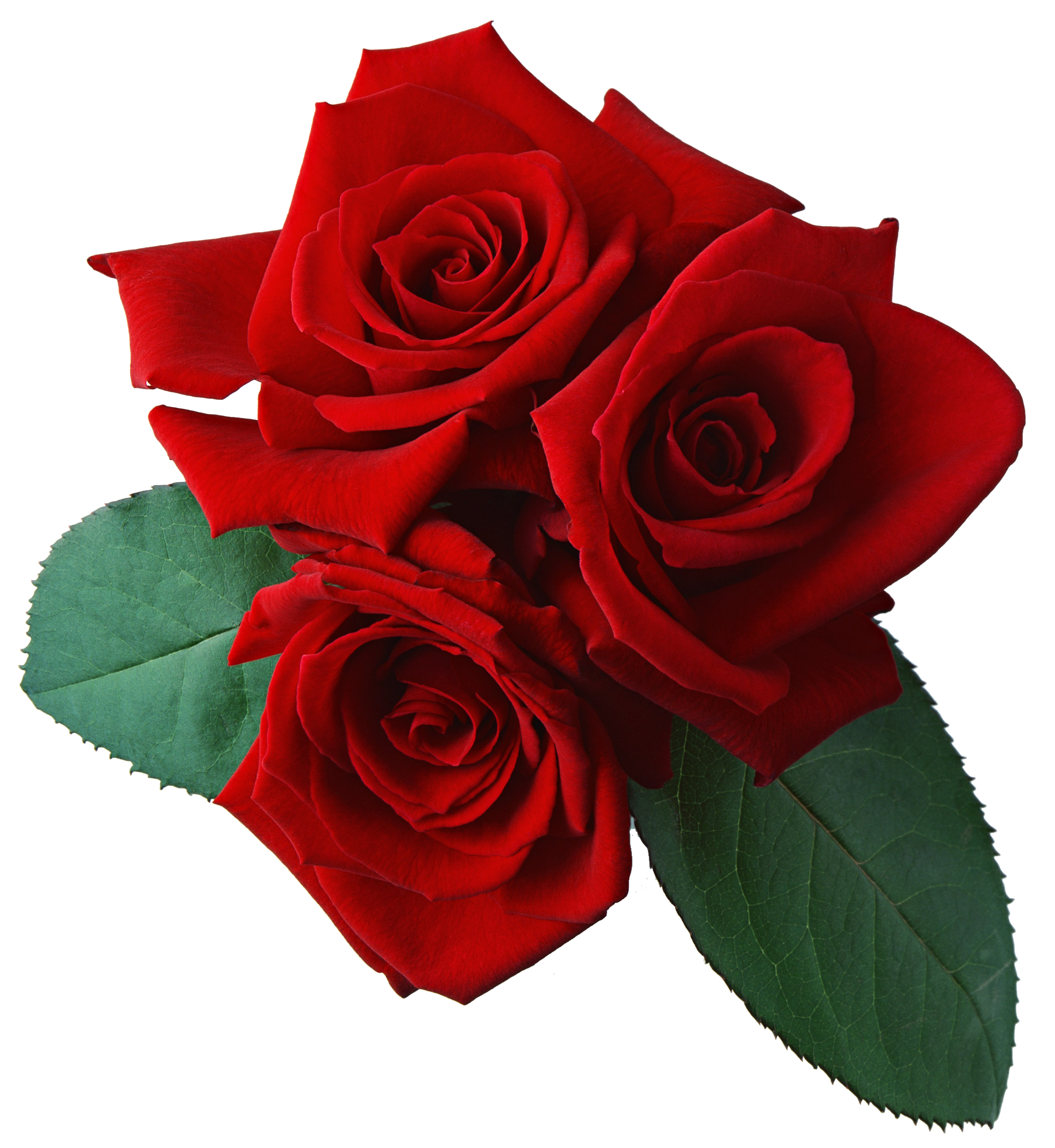 Three red rose flower. Roses png images
