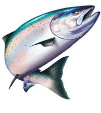 Salmon clipart. Chinook king salmonspirit graphix