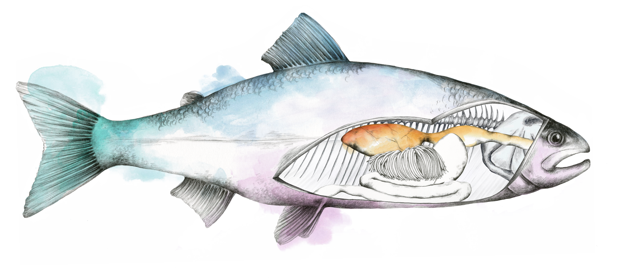 Skretting home . Xray clipart fish