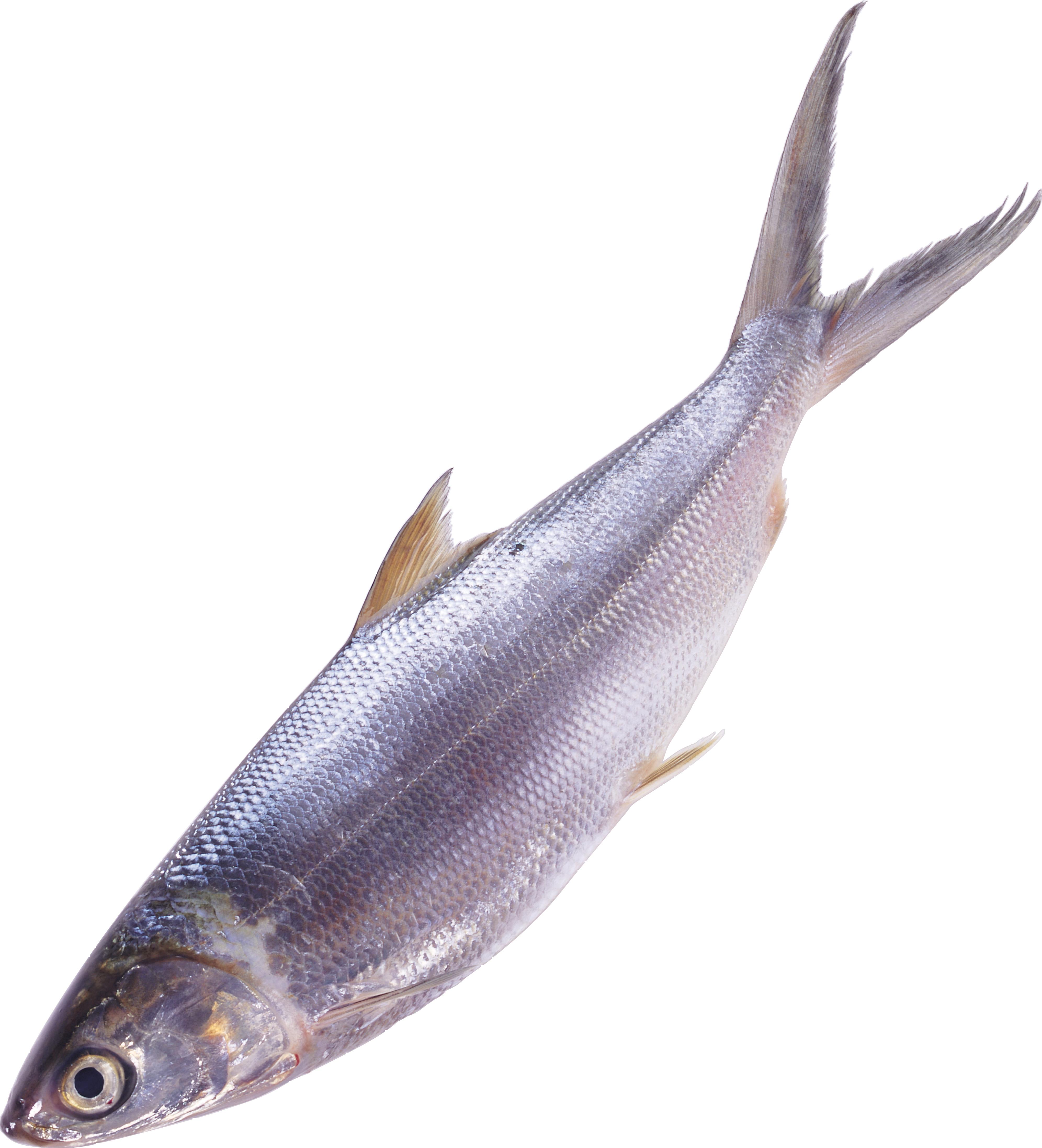 Tuna clipart amberjack. Fish png image free