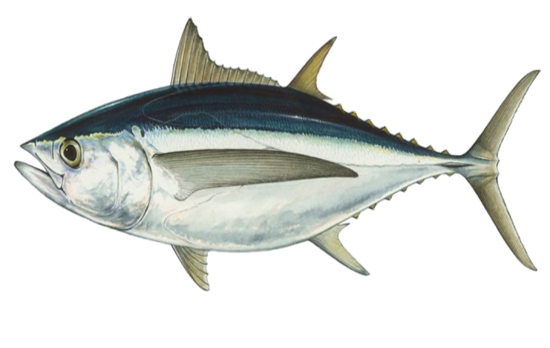 Tuna clipart fresh fish. Seafood recipes sustainable fishery