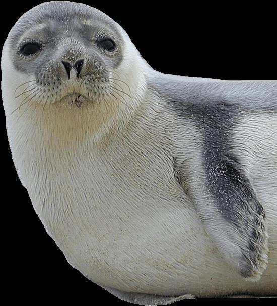 seal clipart blubber
