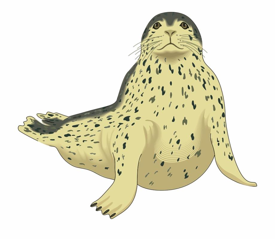 Seal clipart harbor seal. Png pic leopard clip