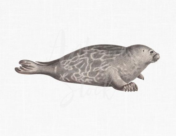 Seal clipart printable. Animal gray png jpeg