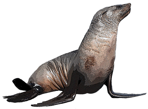 Seal clipart real animal. Free download best