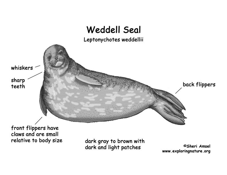 Drawn elephant x free. Seal clipart weddell seal