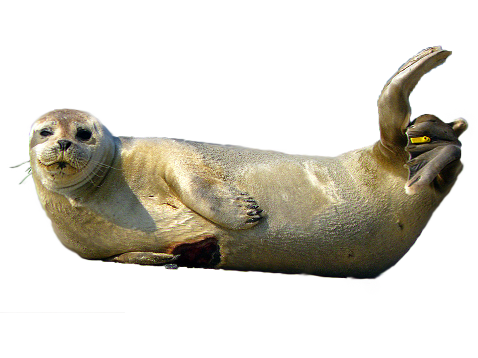 seal clipart weddell seal