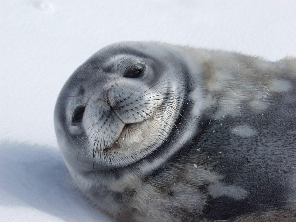 Free download clip art. Seal clipart weddell seal