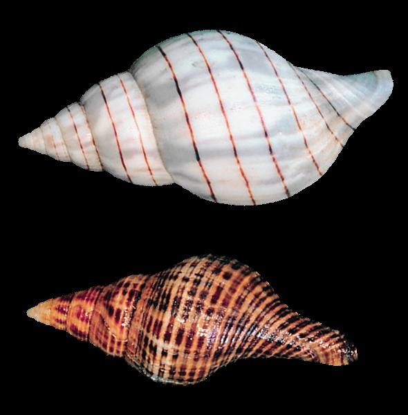 Transparent sea snails shells. Shell clipart shankh