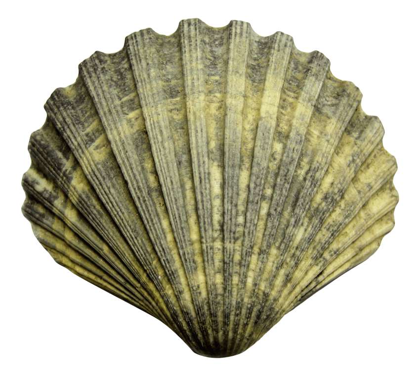Shell clipart shell sea. Png free images toppng