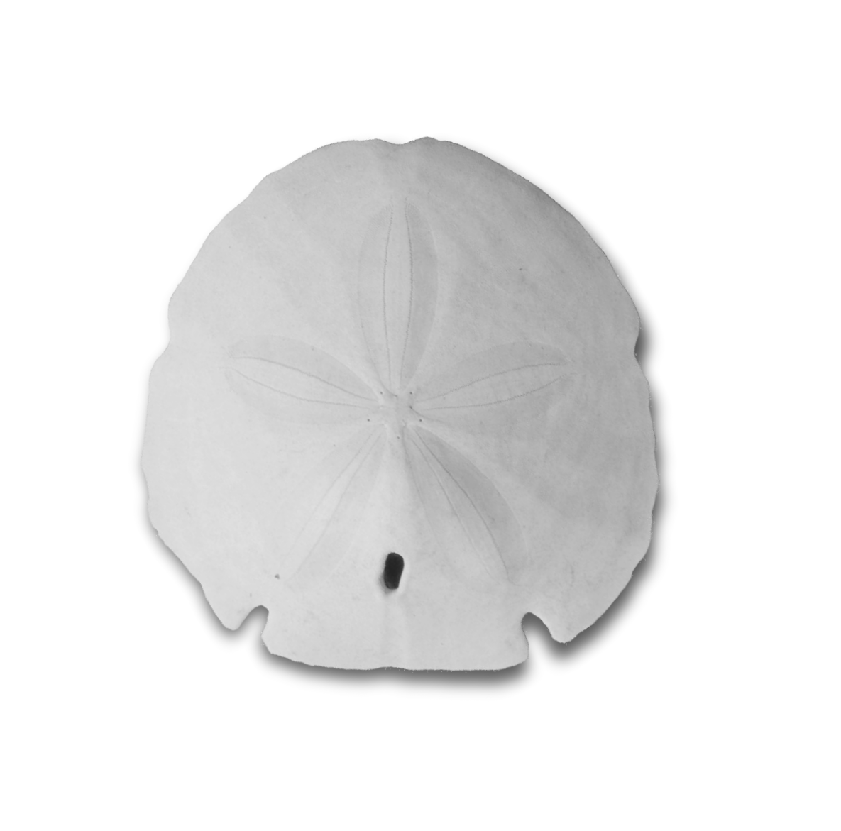Png black and white. Shell clipart sand dollar