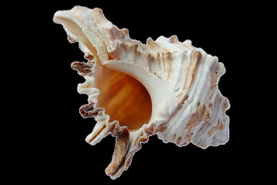 Seashells shell conch