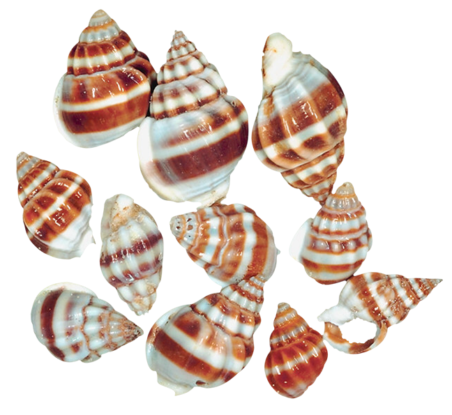 Transparent snail shells png. Shell clipart sea foods