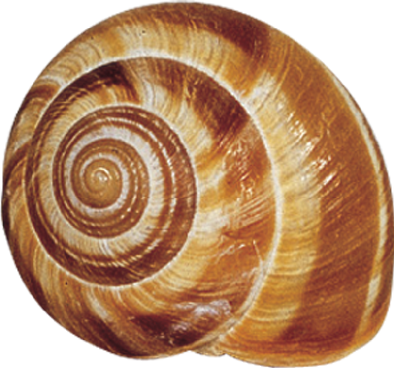 Snail shells google search. Shell clipart shell cowrie