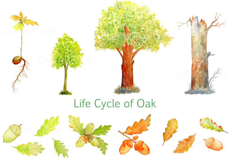 Watercolor life cycle of. Seedling clipart
