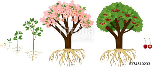 Stages of tree from. Seedling clipart growth rate