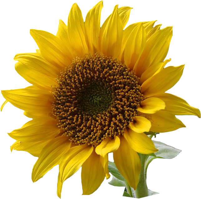 Sunflower image qygjxz . Sun flower png