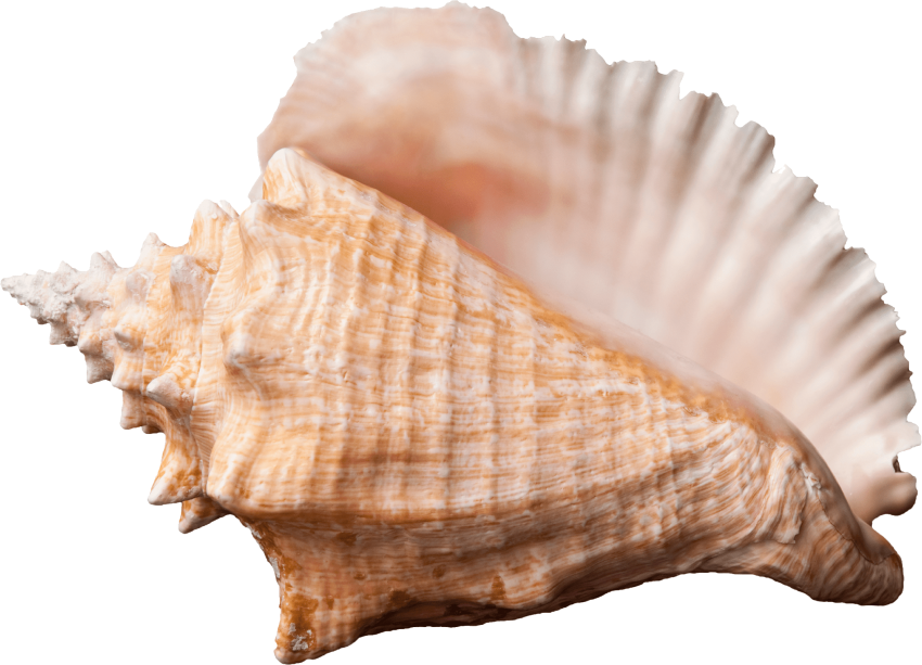Png free images toppng. Shell clipart conch