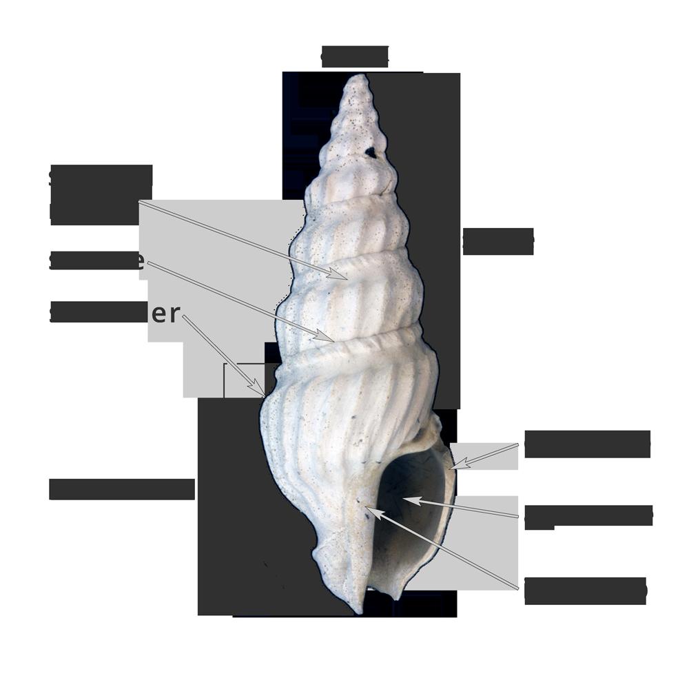 Shell clipart gastropod.  gastropoda form digital